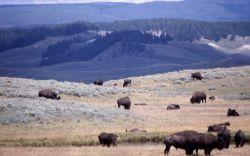 Bison herd in Hayden Valley Photo