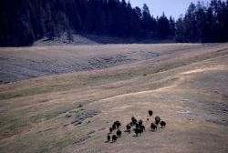 Close up of bison herd in Hayden Valley Photo