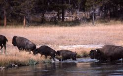 Bison fording river Photo