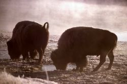 Bison in Yellowstone River fog Photo