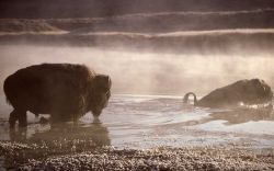 Bison fording Yellowstone River Photo