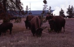 Bison at Fountain Paint Pots Photo