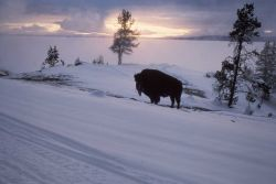 Bison at Steamboat Point Photo