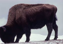 Lone bison in snow Photo