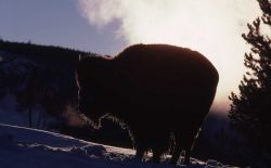 Bison in Biscuit Basin Photo