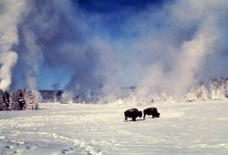 Bison in winter at Old Faithful Photo