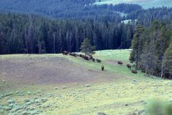 Bison in meadow Photo