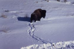 Lone bison in snow in Lamar Valley Photo