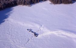 Aerial shot of bison headed for trees in snow Photo