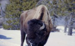 Bison in Upper Geyser Basin in snow Photo