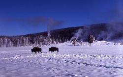 Bison at Old Faithful in snow Photo