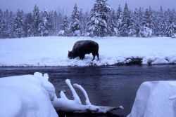 Bison winter feeding on bank of Firehole River Photo