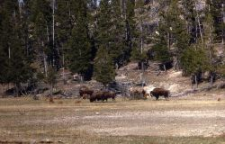 Bison with calves Photo