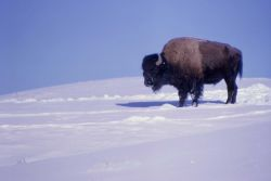 Bison in snow in Hayden Valley Photo