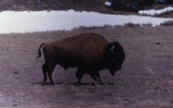 Bison at Mary Bay Photo