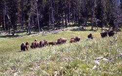 Bison in Hayden Valley Photo