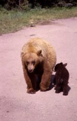 Black bear & cub Photo