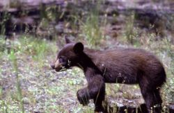 Black bear cub Photo