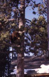 Black bear cub in a tree Photo
