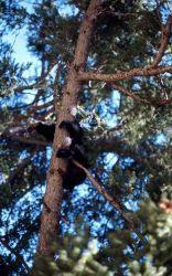 Black bear in a tree Photo