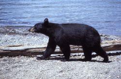 Black bear walking near lake Photo