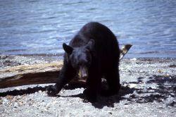 Black bear along lake shore Photo