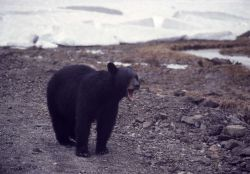 Black bear Photo