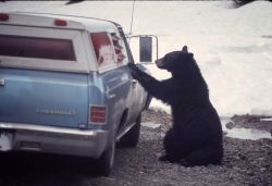 Black bear begging by a car Photo