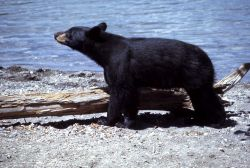 Black bear along lake shore Photo