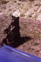 Black bear sitting up along roadside Photo