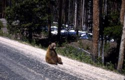 Black bear sitting on road on Dunraven Pass Photo