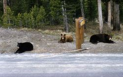 Three black bears near a sign Photo