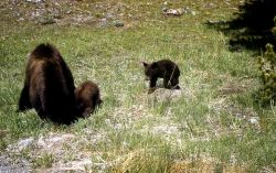 Black bear sow & cubs Photo