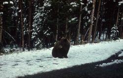 Black bear in the snow on roadside Photo
