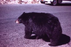 Black bear on road near Tower Falls Photo