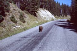 Black bear on Cooke City road Photo