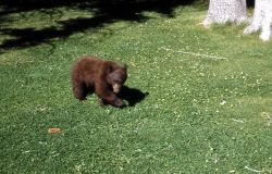 Black bear cub in a yard near Mammoth Hot Springs chapel Photo