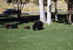Black bear sow & three cubs grazing on a lawn near Mammoth Hot Springs chapel Photo