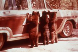 Three Black Bear cubs begging on car door Photo