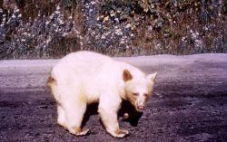 Albino black bear in Glacier National Park Photo