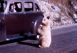 Albino black bear begging at car in Glacier National Park Photo