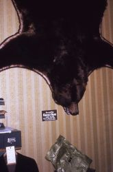 Black bear skin on wall in a shop Photo