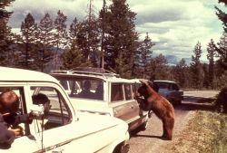 Black bear begging at car in traffic jam Photo