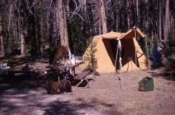 Black bear sow & cubs raiding camp Photo