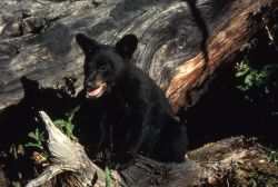 Black bear cub on a log Photo