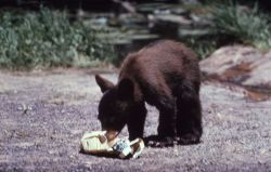 Black bear cub chewing on newspaper Photo