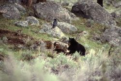 Black bear on bison carcass with raven on nearby rock near Junction Butte Photo