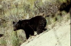 Black bear standing on a hill Photo