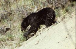 Black bear walking down a hill Photo