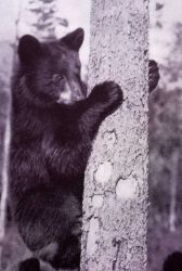 Black bear cub in a tree Photo